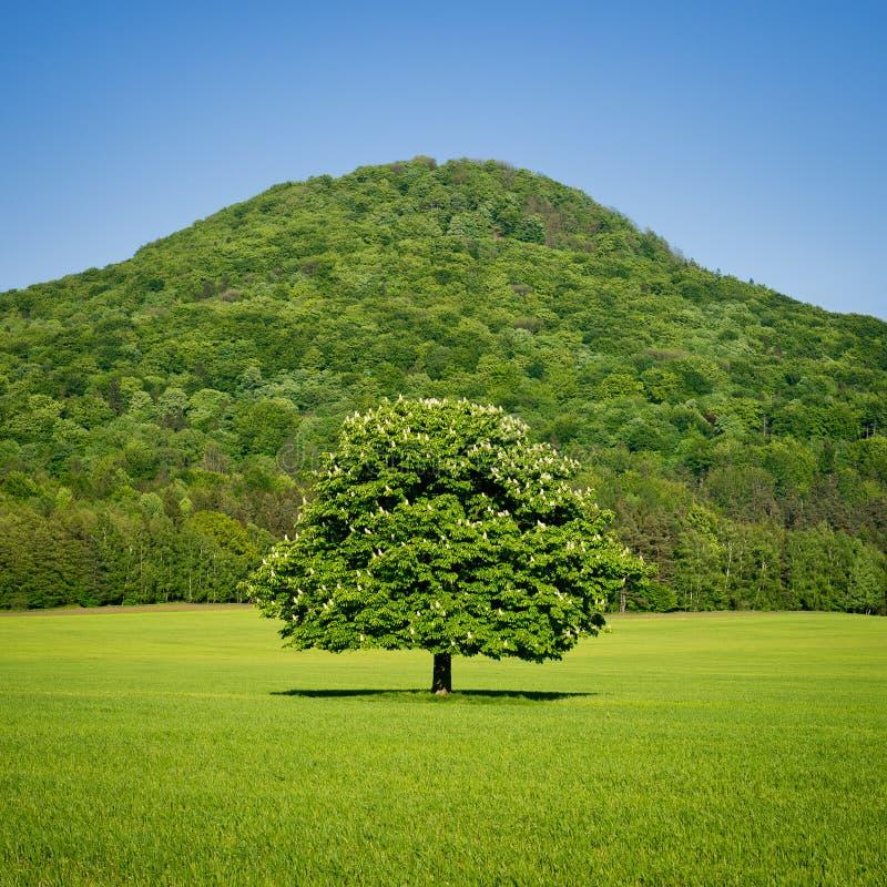 Samotny zielony koński cisawy drzewo w wiośnie zdjęcia stock