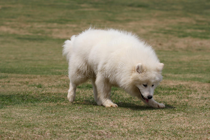 Download Samoyed stock photo. Image of canines, looking, pant - 20640070