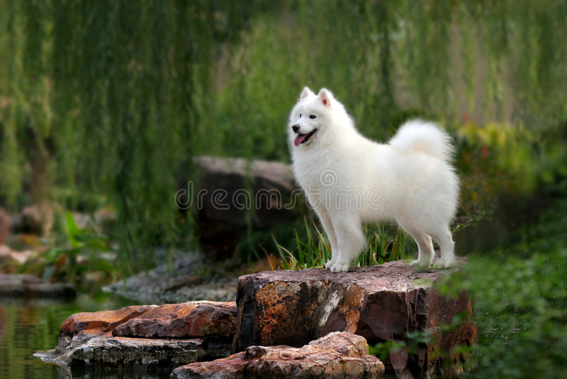 Download Samoyed stock photo. Image of dogs, love, faithful, race - 3660600