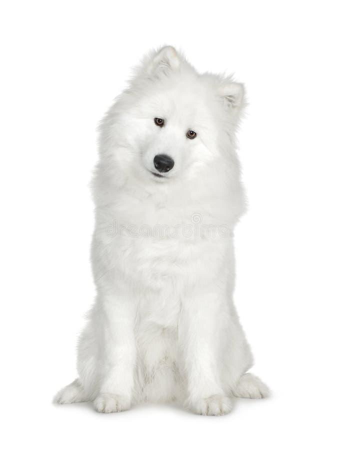 Samoyed (6 maanden)