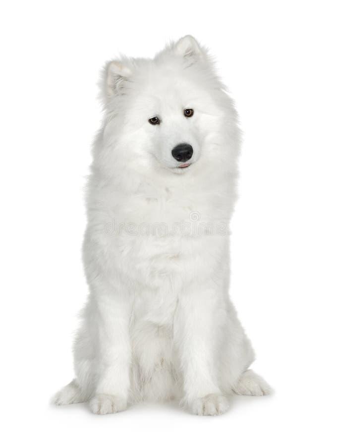 Samoyed (6 Monate) Stockfoto