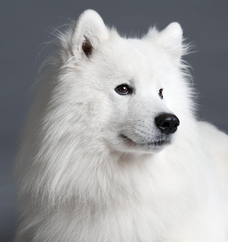 Download Samoyed dog stock photo. Image of animal, furry, obedience - 16385776