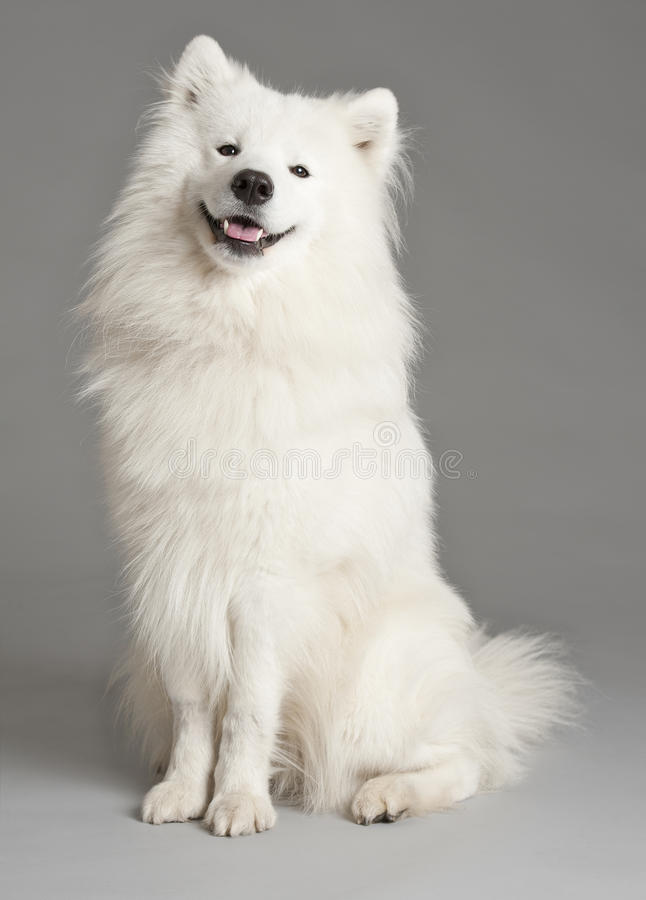 Download Samoyed Dog Stock Images - Image: 16546134