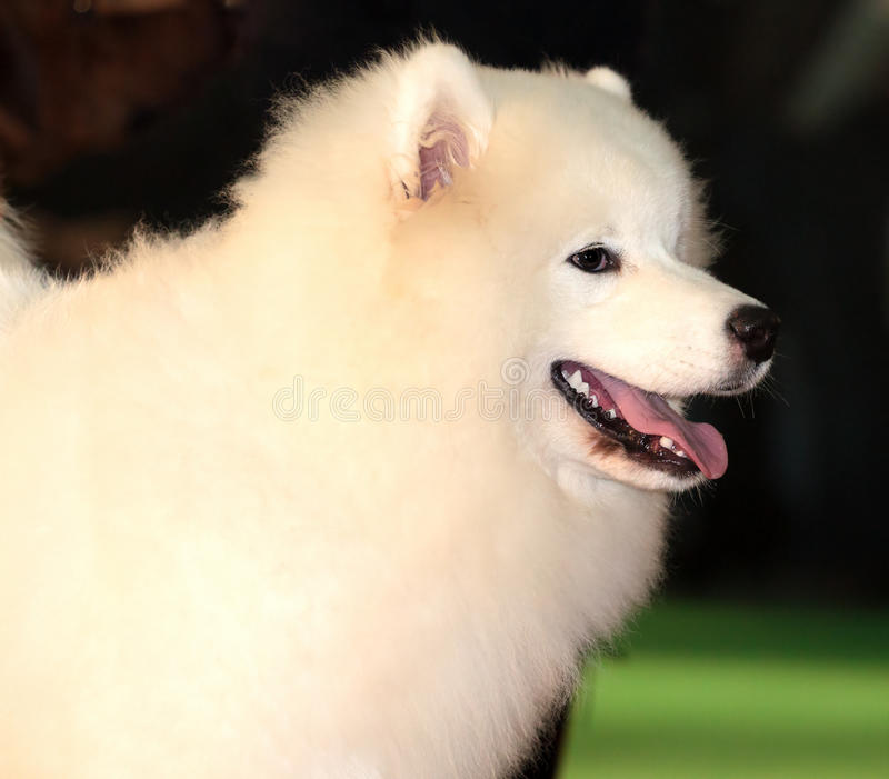 Download Samoyed dog stock photo. Image of playing, portrait, couch - 17092042
