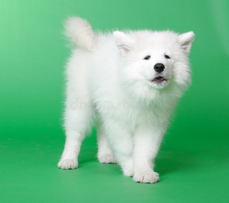 Free Samoyed Dog Stock Photos - 19041853