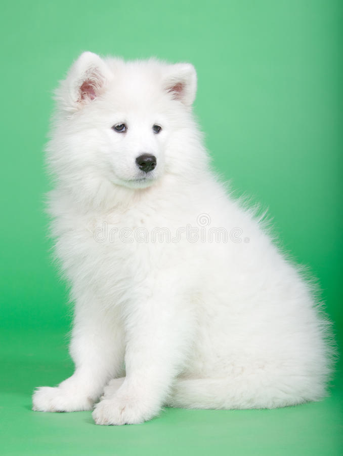 Free Samoyed Dog Royalty Free Stock Photo - 19041915