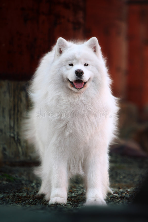 Download Samoyed dog stock image. Image of innocent, obedient, collar - 4958883