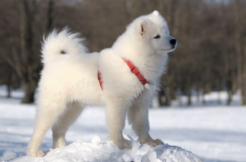Download Samoyed Dog Stock Image - Image: 6439041