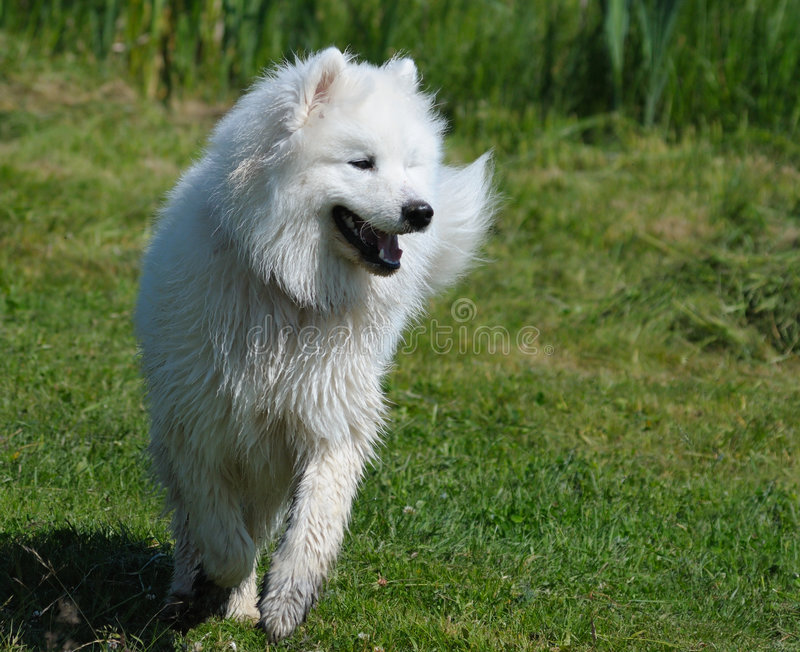Download The samoyed dog stock image. Image of summer, outside - 6467385