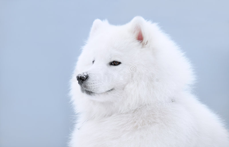 Download Samoyed dog stock photo. Image of winter, animal, puppy - 7543914