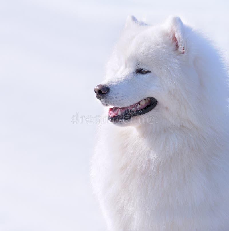 Download Samoyed dog stock photo. Image of winter, animal, muzzle - 8775878