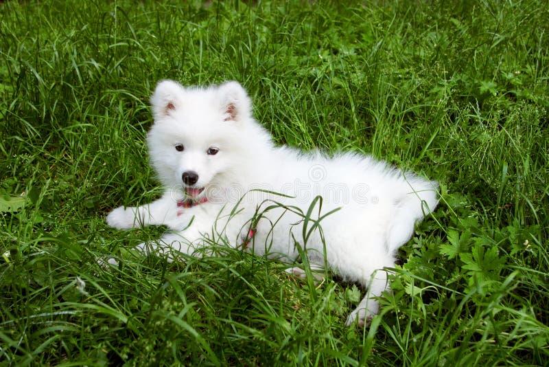 Download Samoyed dog stock image. Image of purebred, samoed, green - 9781869