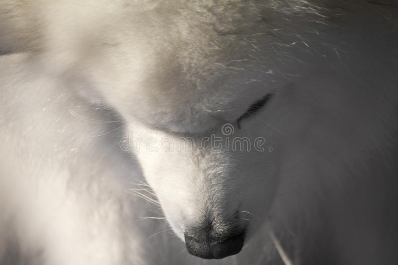 Samoyed dog with head bowed down. Samoyed dog being prepared for its` class at a local dog show with his head bowed stock image