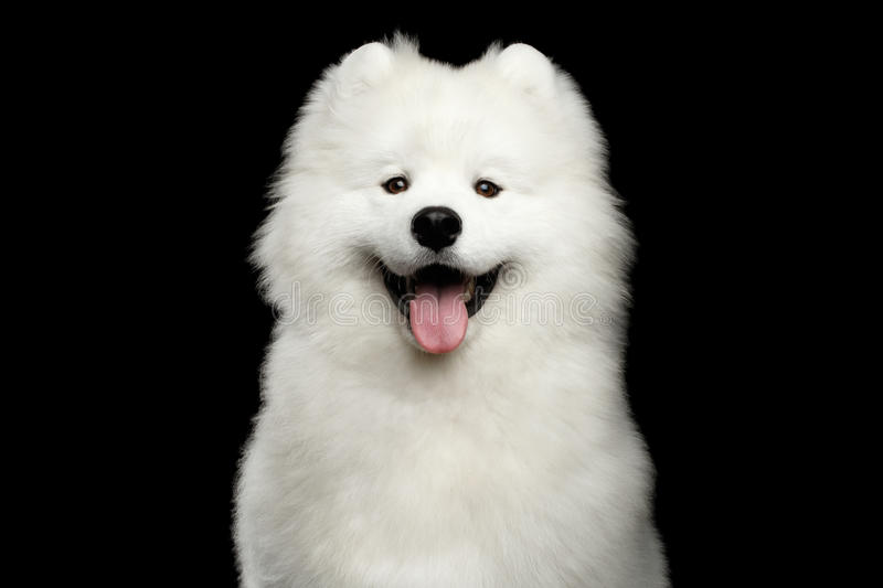 Samoyed dog isolated on Black background. Portrait of Happy Samoyed Dog isolated on Black background, front view royalty free stock photo