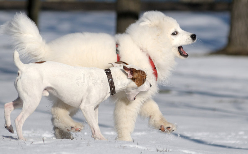 Download Samoyed Dog And Jack Russel Terrier Stock Image - Image: 6427917