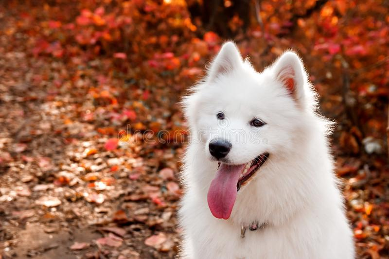 Samoyed Dog portrait in autumn forest near red leaves . Canine background. Walk dog concept.  royalty free stock image