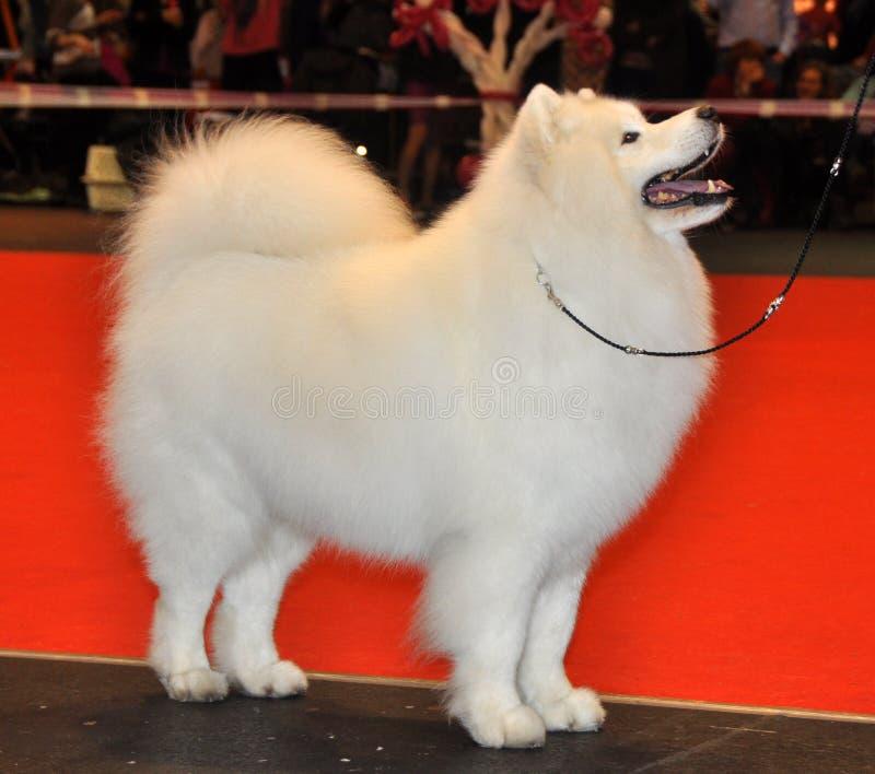 Download Samoyed dog stock photo. Image of samoyed, chain, show - 39513456