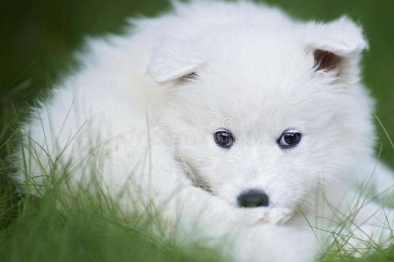 Download Samoyed dog puppy stock photo. Image of face, doggy, obedience - 26511134