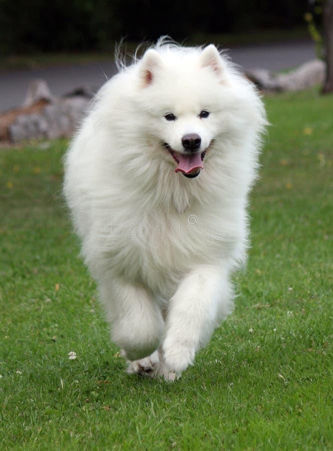 Samoyed dog running royalty free stock photos