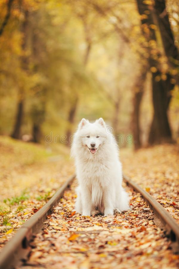 Samoyed dog sits between rails on railroad in autumn forest. stock images