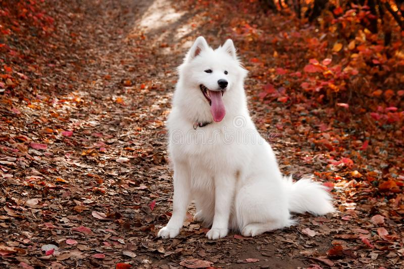 Samoyed Dog sitting in autumn forest near red leaves . Canine background. Walk dog concept.  stock photo