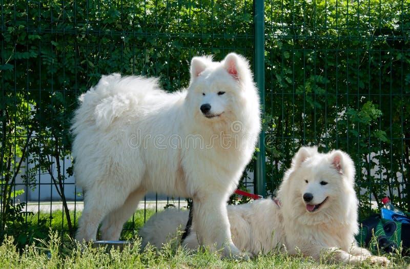 Samoyed Dogs Stock Photo