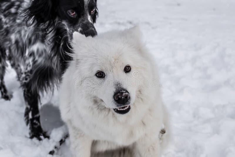 Samoyed en het Engelse Zetter spelen in sneeuw stock foto
