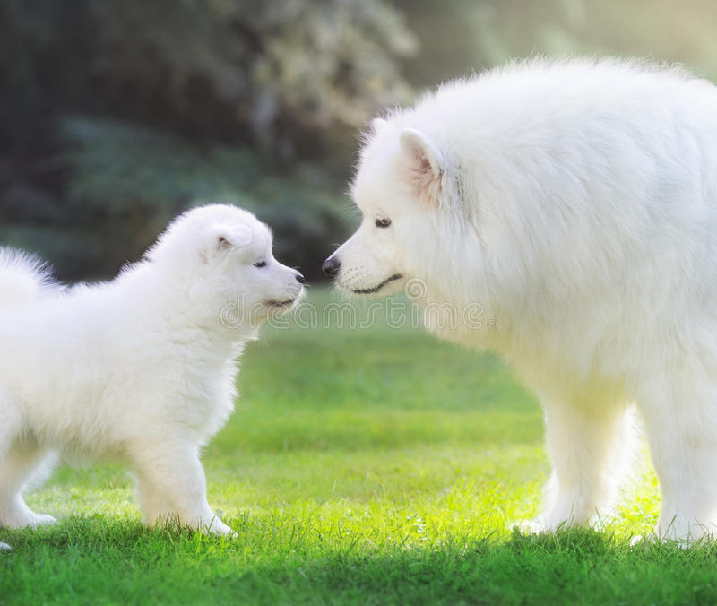 Samoyed förföljer Hundmoder med valpen royaltyfria bilder