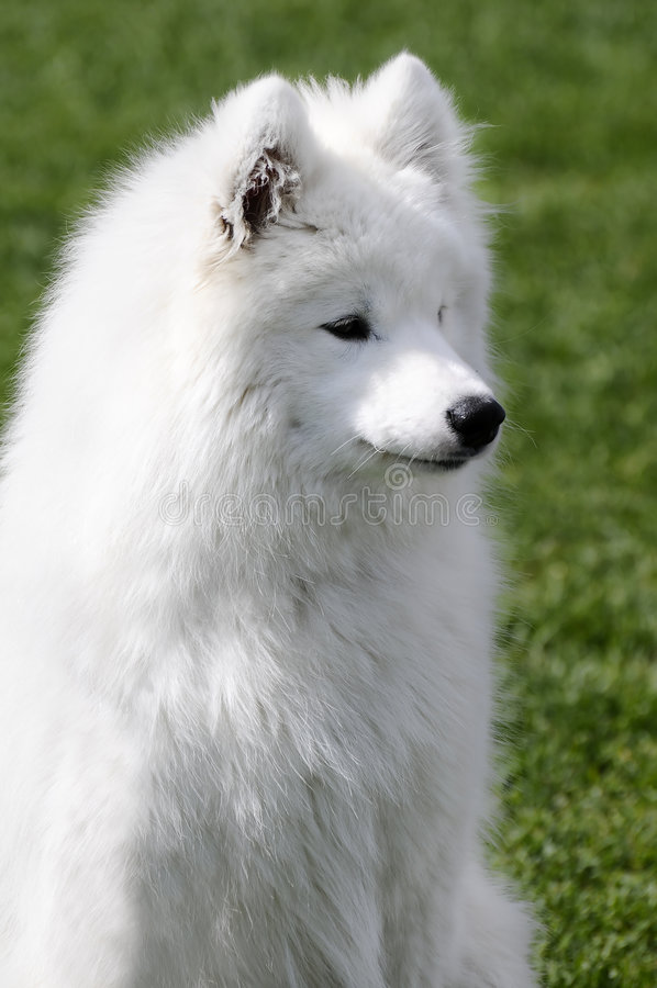 Samoyed-Hund Lizenzfreies Stockbild