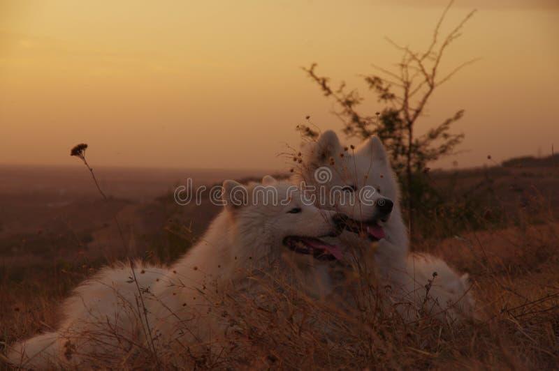 Samoyed-Hund angesichts des Sonnenuntergangs lizenzfreies stockfoto