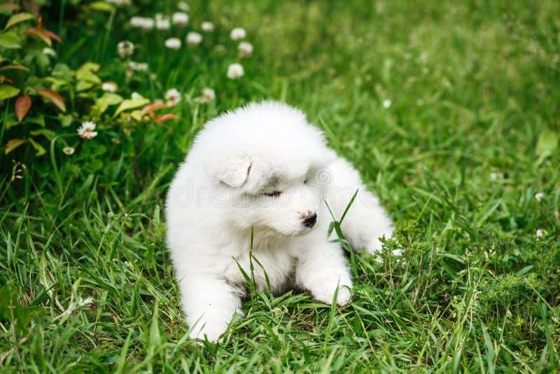 Samoyed Laika щенка на природе стоковое фото