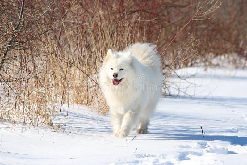 Samoyed marchant dans la neige photographie stock libre de droits
