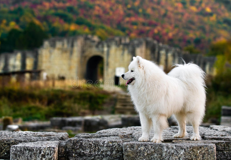 Samoyed in the old town royalty free stock photo