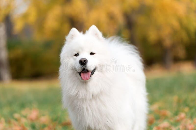 Samoyed pies obrazy stock