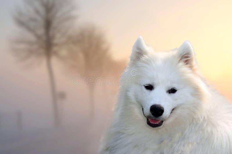 Samoyed psi outside przy mglistym zmierzchu wieczór zdjęcie stock