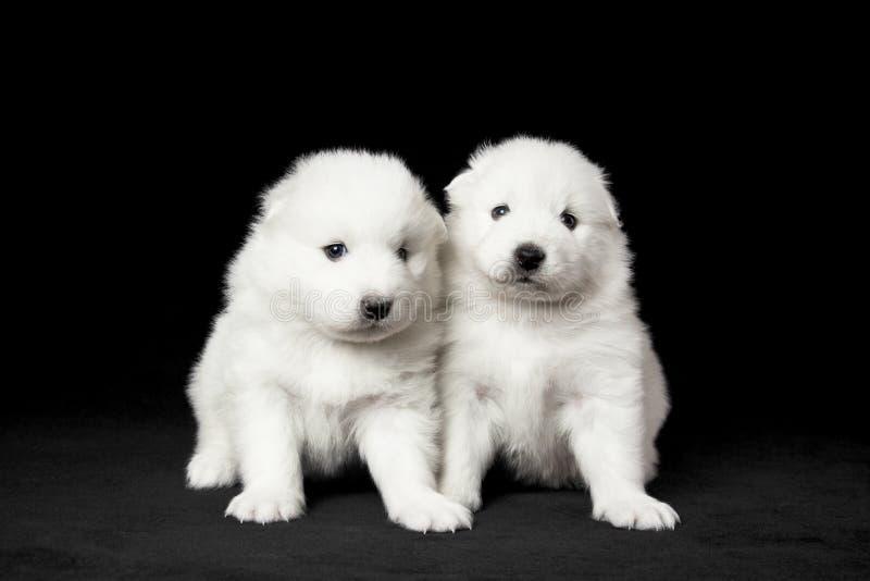 Samoyed Puppies Stock Photo