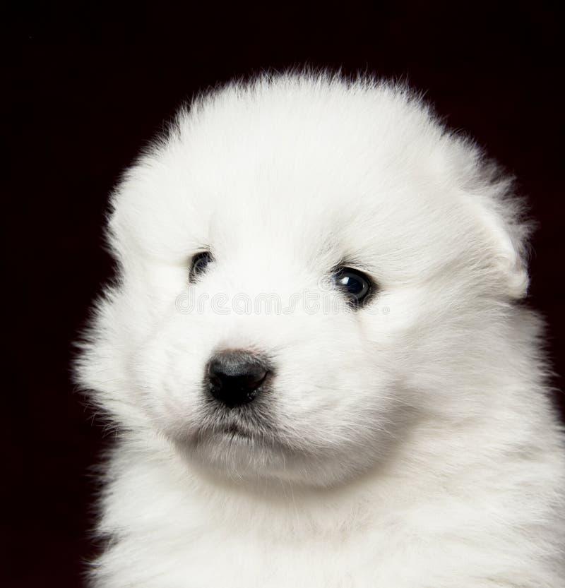 Samoyed Puppy Royalty Free Stock Image