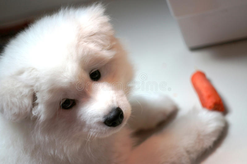 Samoyed puppy stock photos