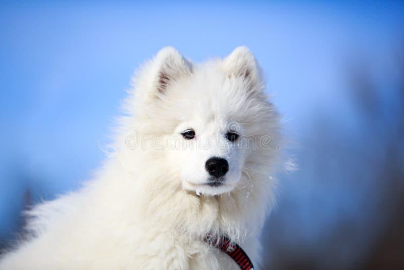 Download Samoyed puppy stock image. Image of winter, laika, sobaka - 31002203