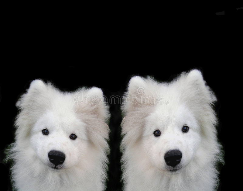 Samoyed Puppys Stockbild
