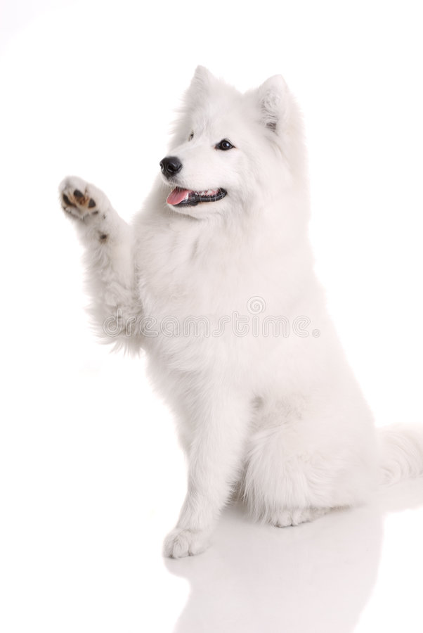 Download Samoyed's dog stock image. Image of friendly, adult, studio - 9137265