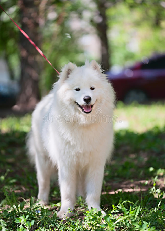 Samoyed Standing On A Grass Stock Image
