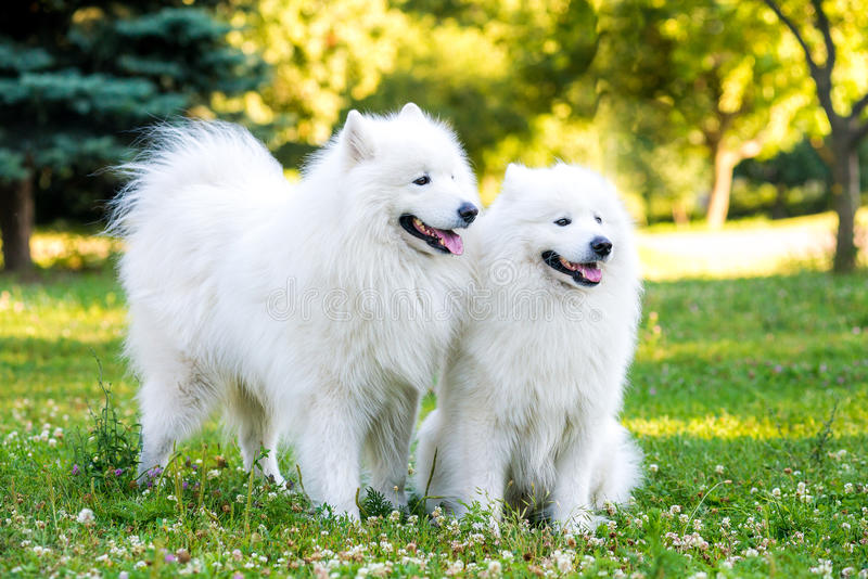 Samoyed two dogs in the park stock images