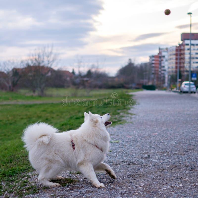 Samoyedhond die de bal voorbereidingen treffen te vangen royalty-vrije stock afbeelding