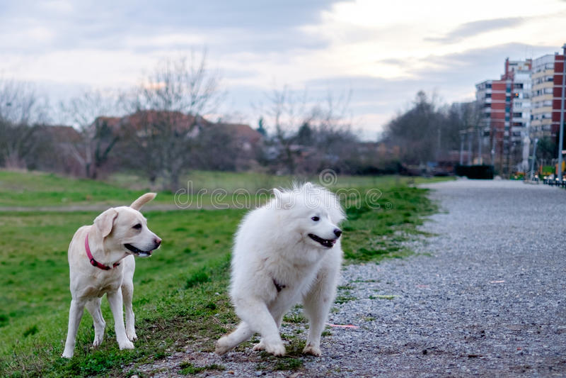 Samoyedhond en haar vriend royalty-vrije stock afbeeldingen