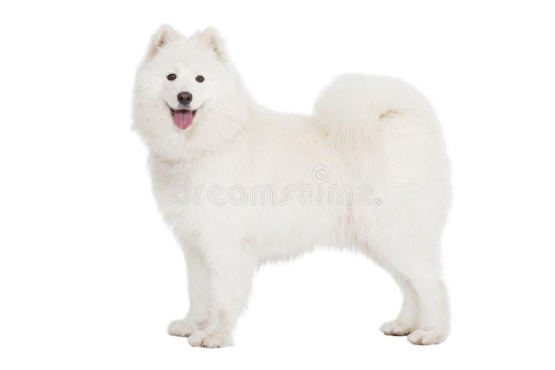 Samoyedhond, op wit wordt geïsoleerd dat stock fotografie