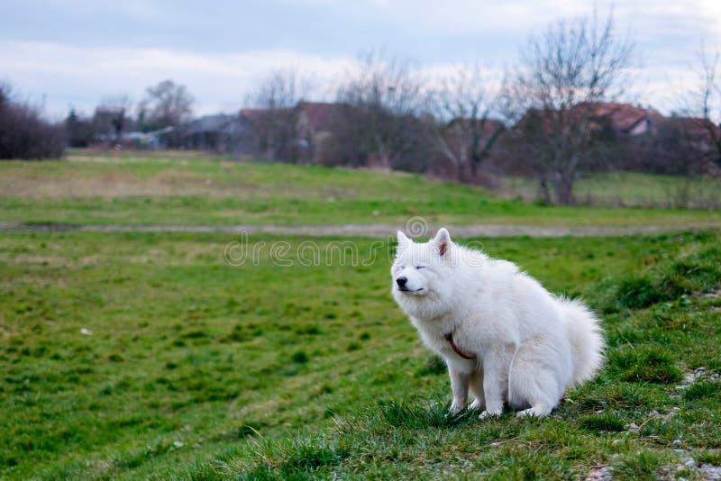 Samoyedhond van een gebied van gras stock afbeeldingen