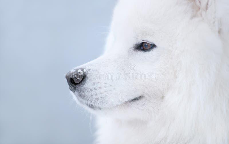 Samoyedhund Stockfotografie