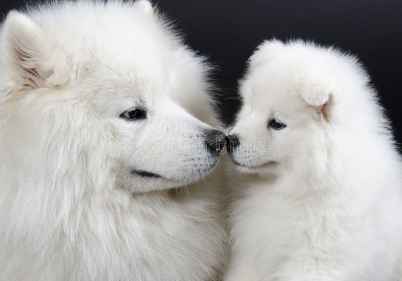 Samoyedhunde stockbilder