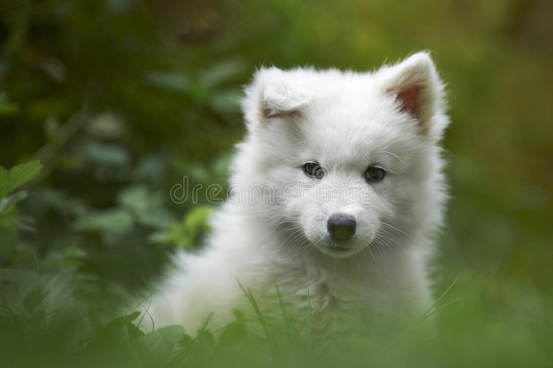 Samoyedhundewelpe lizenzfreies stockfoto